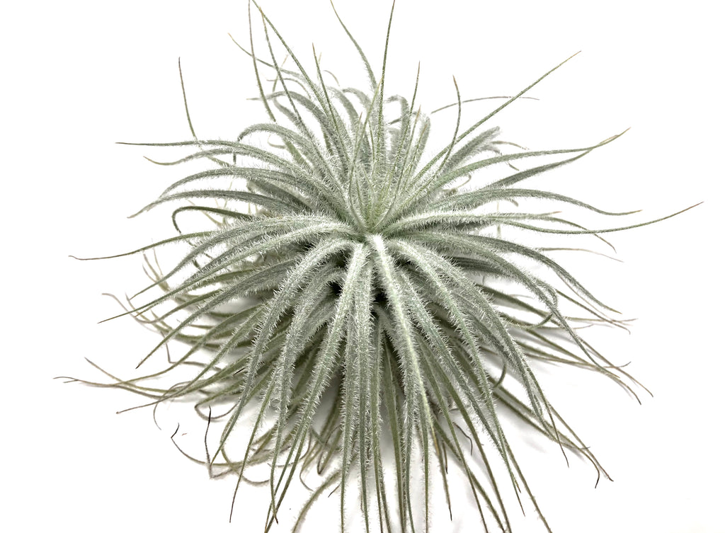 Tectorum - Air Plant Hub
