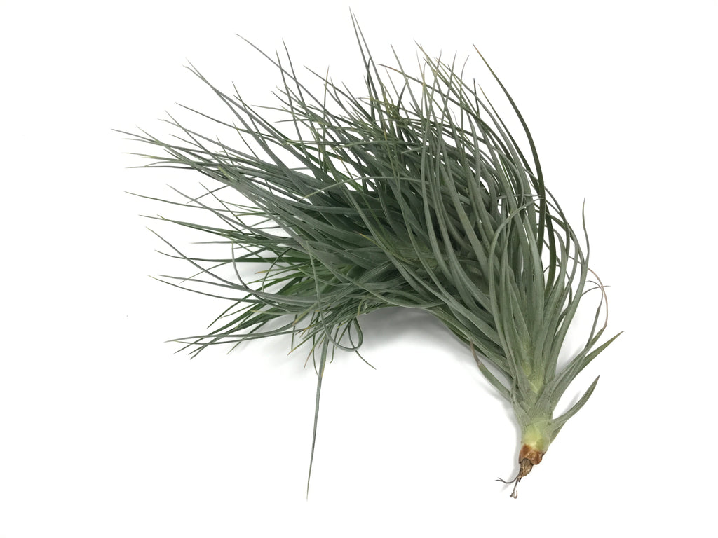Tenuifolia Bush - Air Plant Hub