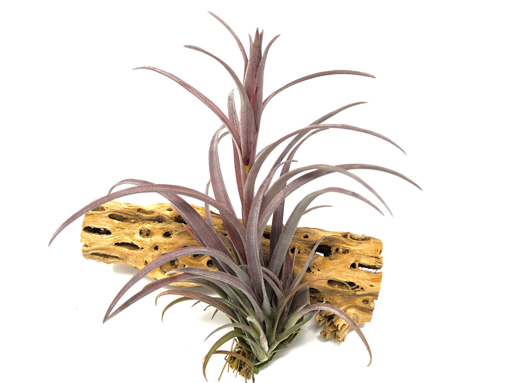 Capitata v Domingensis <br> (Small & Med Sizes) - Air Plant Hub
