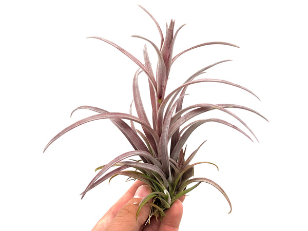 Capitata v Domingensis <br> (Small Sizes Only)