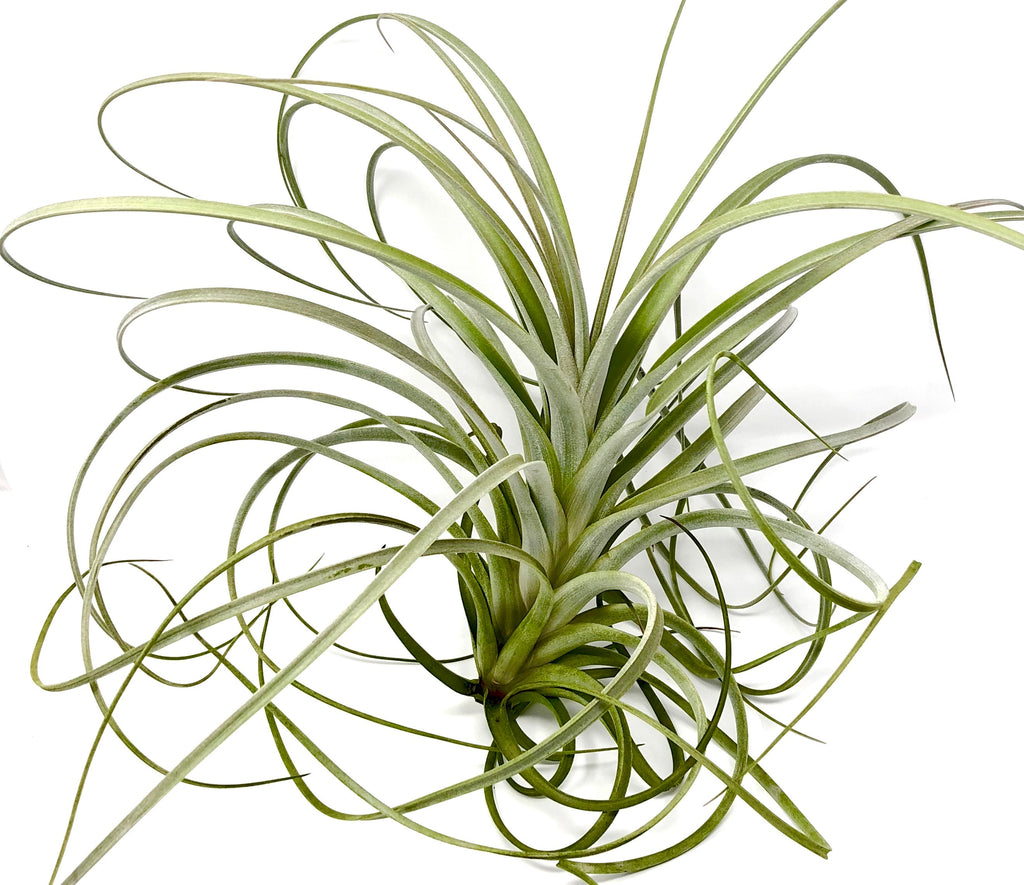 Exserta <br> (Small Sizes In Bloom) - Air Plant Hub