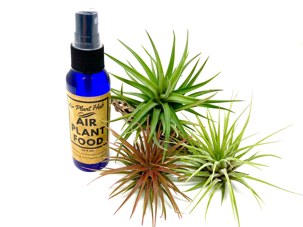 3 Air Plant Starter Pack With Fertilizer <br> (2 Ionantha, 1 Stricta, 60ml Fertilizer Bottle) - Air Plant Hub