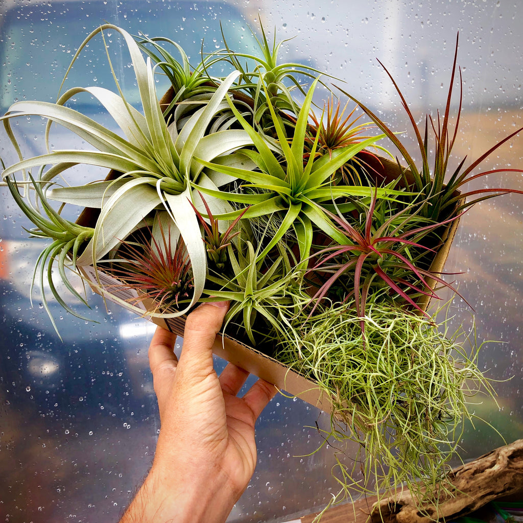 $50 Greenhouse Mix <br> (20 Small/Med/Lg Plants) <br> INCLUDES XEROGRAPHICA