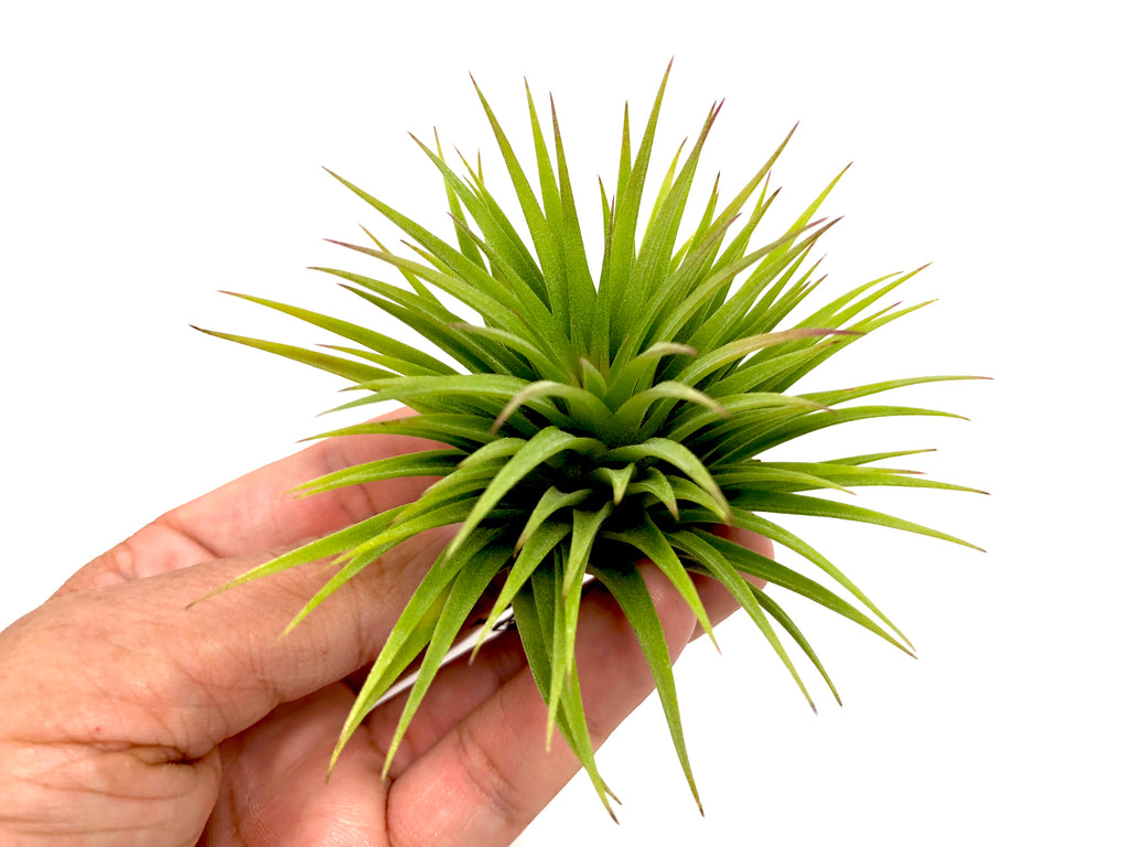 Ionantha 'Fat Boy' - Air Plant Hub