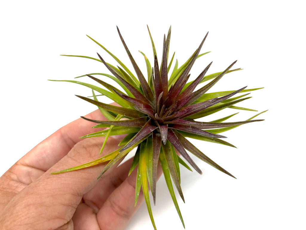 Tenuifolia Purple Fan <br> (Currently Blushing Purple) - Air Plant Hub