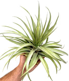 X Betty <br> (Xerographica x Brachycaulos) - Air Plant Hub