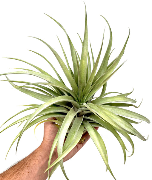 X Betty <br> (Xerographica x Brachycaulos)