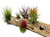 "Sandblasted Cholla Wood <br> 12"" Long (WOOD ONLY) - Air Plant Hub"