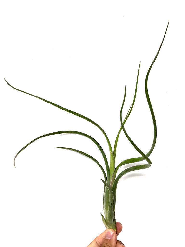 Intermedia <br> (Large, Currently Not In Bloom) - Air Plant Hub