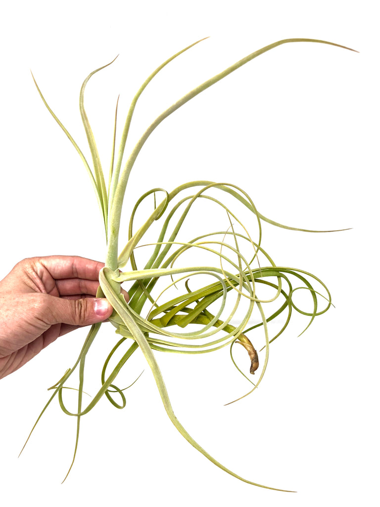 Duratii <br> (Medium Sizes) - Air Plant Hub