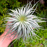 Stricta 'Moonglow' <br> (Beautiful Symmetry w/ Light Gray Color) - Air Plant Hub