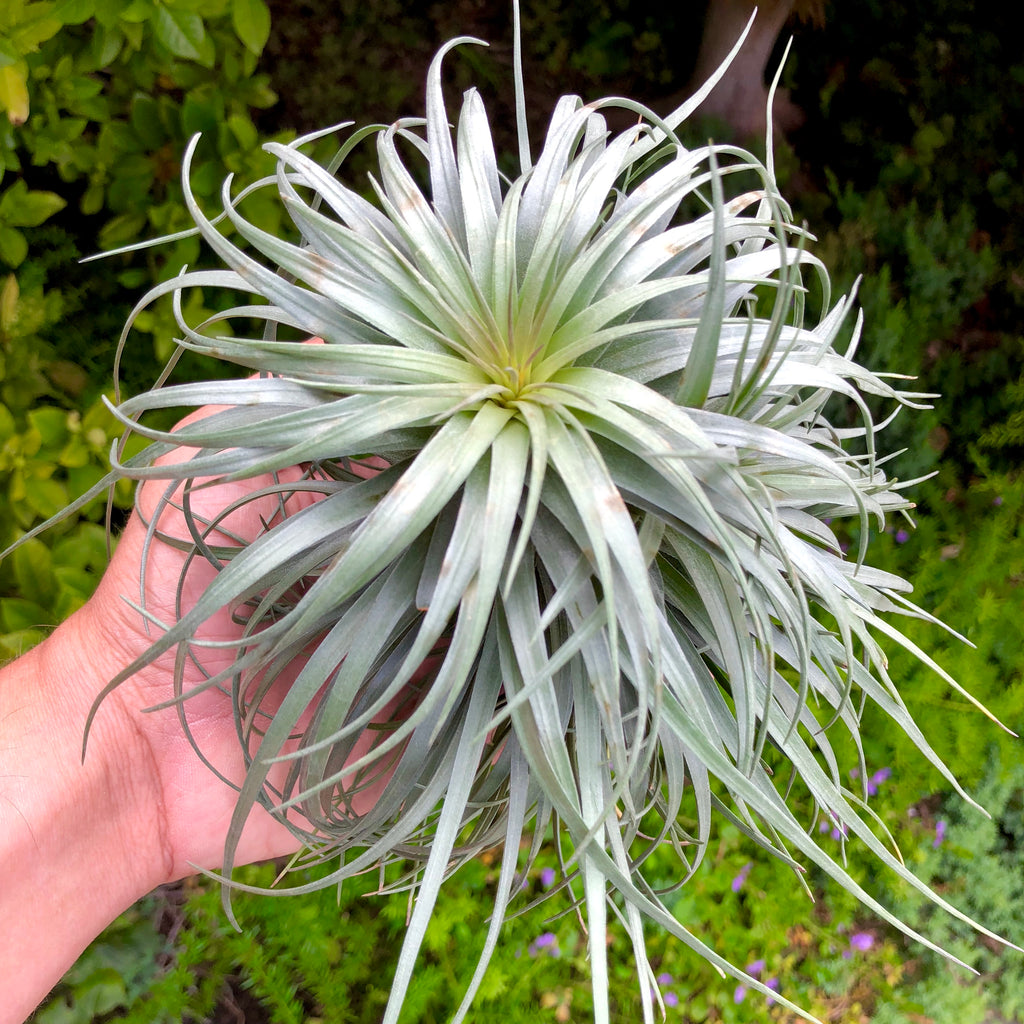 Stricta 'Moonglow' <br> (Beautiful Symmetry) - Air Plant Hub