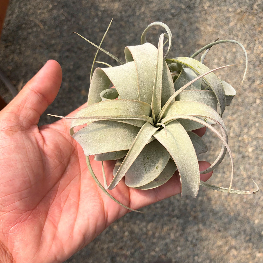 "Xerographica <br>  ""Queen of the Air Plants"" - Air Plant Hub"
