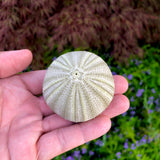 Large Green Sea Urchin Shell <br> Perfect Shape - Air Plant Hub