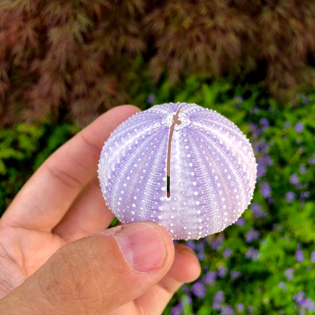 Large Purple Sea Urchin Shell <br> Doubles As A Card/Photo Holder! - Air Plant Hub