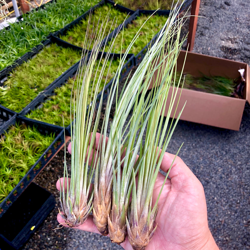 "Wholesale Juncea 6""-10"" <br> (Minimum Order 10) <br> SALE!"