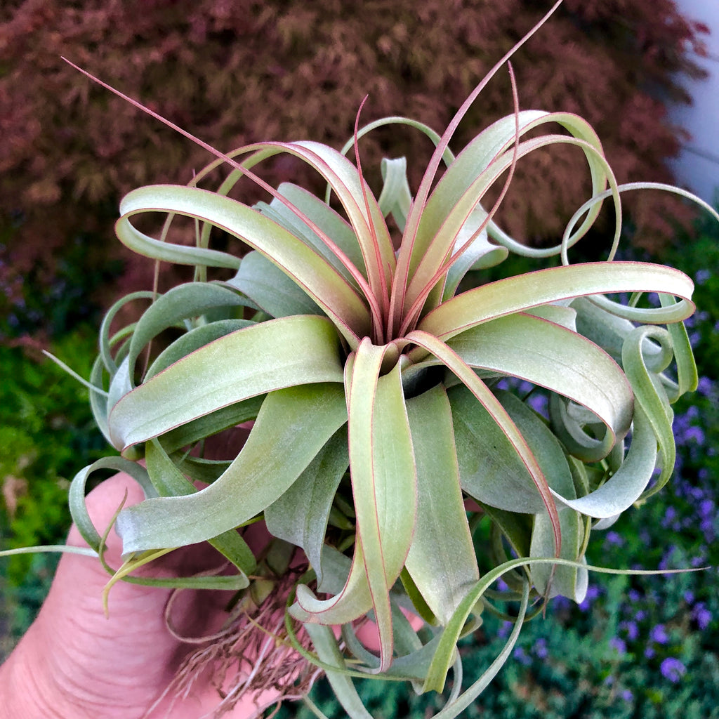 Elisa <br> (Concolor x Streptophylla) <br> Currently Blushing Lemon Lime & Red! - Air Plant Hub