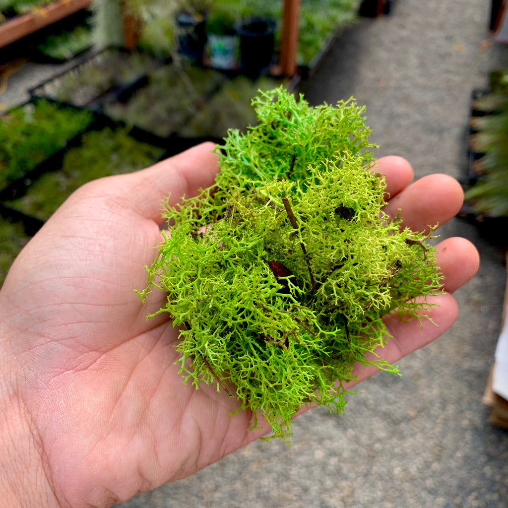 Preserved Accent Moss (Green) - Air Plant Hub