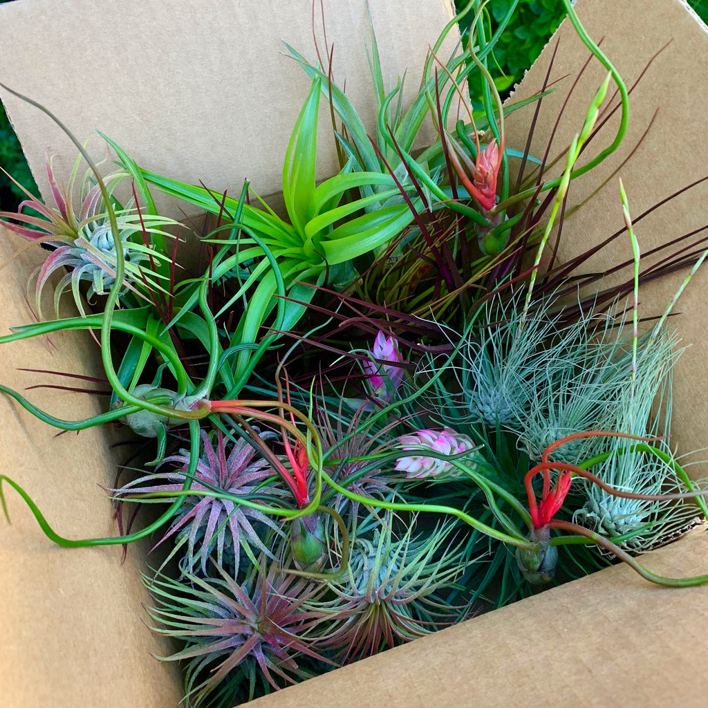 $100 Greenhouse Mix <br> (35 Small/Med/Lg/XL Plants) <br> INCLUDES XEROGRAPHICA