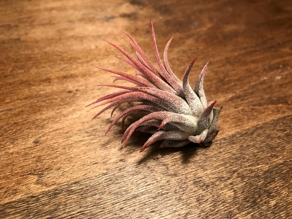Ionantha Rubra <br> (Currently Not In Bloom) - Air Plant Hub