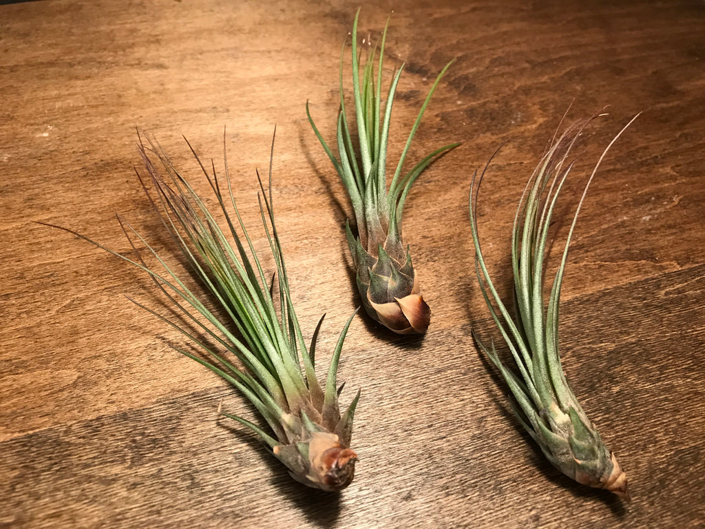 Juncea - Air Plant Hub