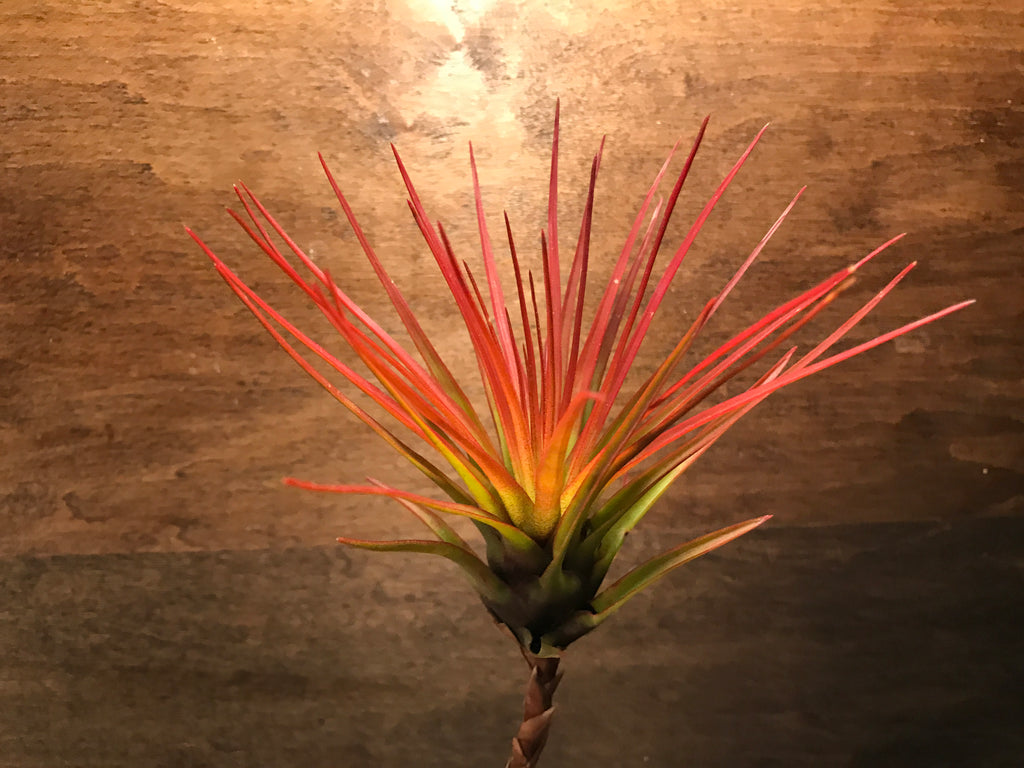 $20 Greenhouse Mix <br> ( 10 Small/Med Plants) - Air Plant Hub