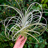 Exserta <br> (Small Sizes Available) - Air Plant Hub