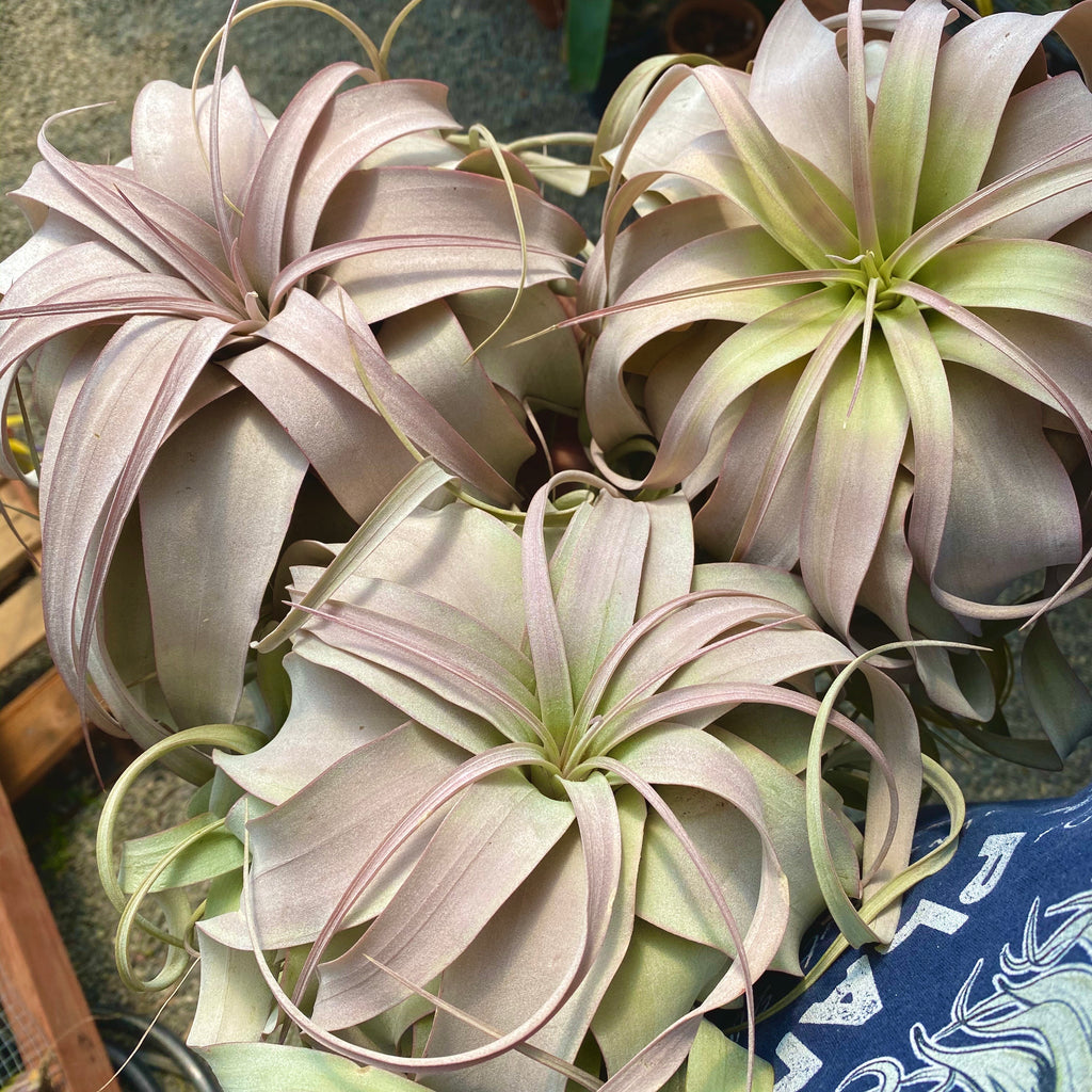 Xerographica With Pink Blush *SALE!*