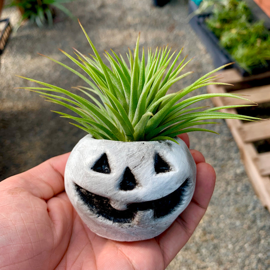 White Concrete Pumpkin Air Plant Holder <br> (Includes Random Air Plant)