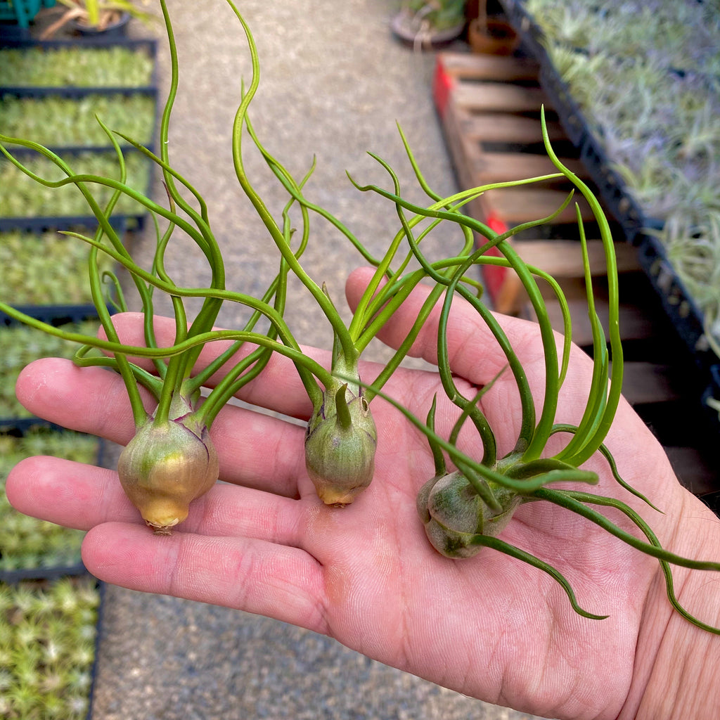 Wholesale Bulbosa medium <br> (minimum order 5)