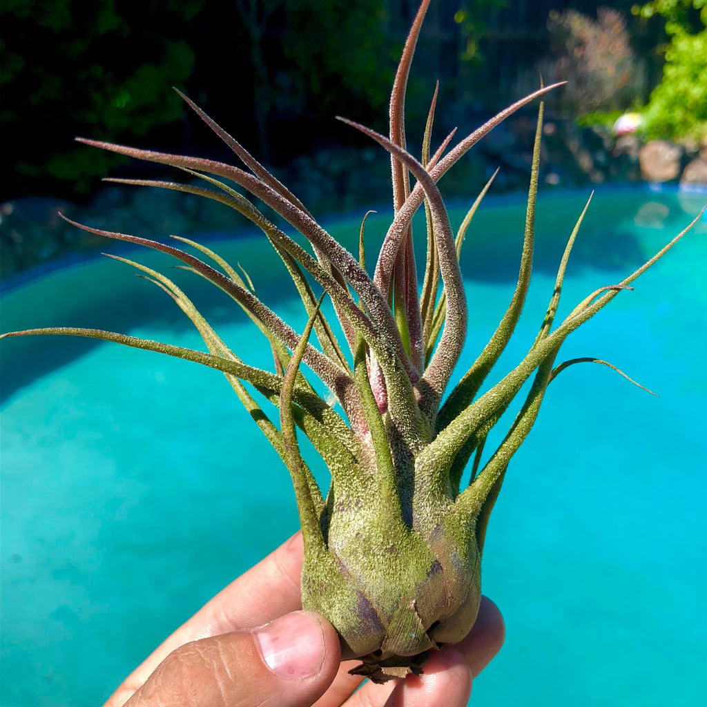 Pruinosa Guatemala <br> (Medium Sizes) <br> - Air Plant Hub