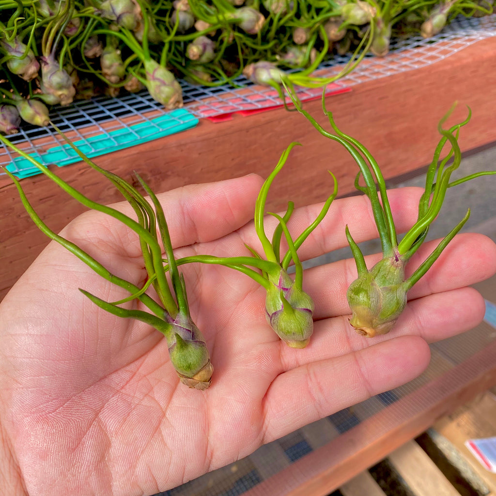 Wholesale Bulbosa small <br> (minimum order 10)