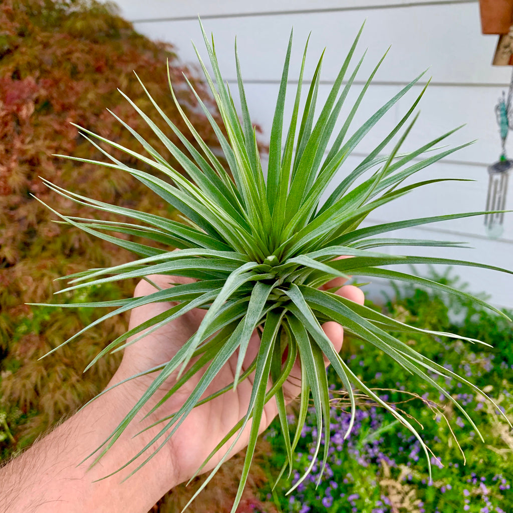Stricta Starburst XL