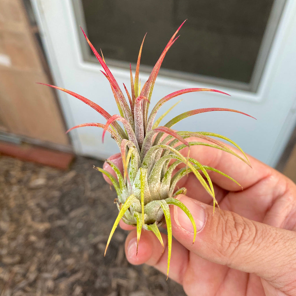 """As is"" Ionantha Variety (B Quality) <br> Many currently in bloom!"