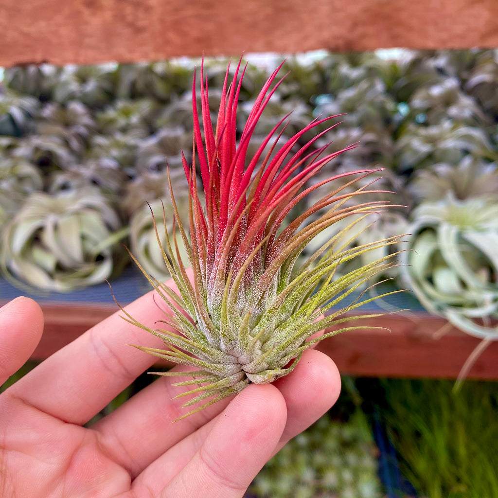 Ionantha *Red* <br> (Various Sizes)
