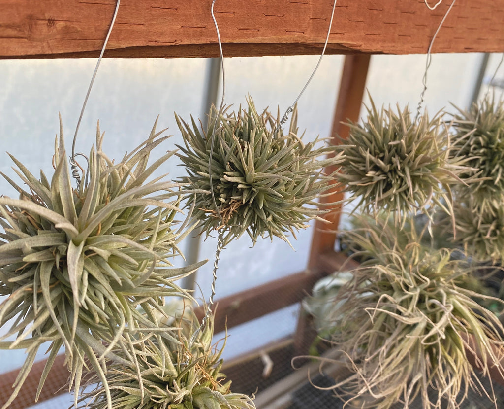 Capitata Snowball Clumps (includes hanging wire)