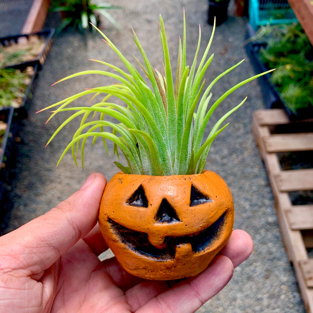 Orange Concrete Pumpkin Air Plant Holder <br> (Includes Random Air Plant)