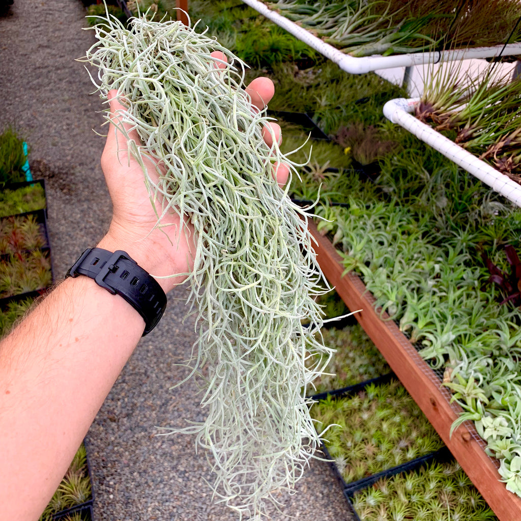 Thick Form Spanish Moss (White) - Air Plant Hub