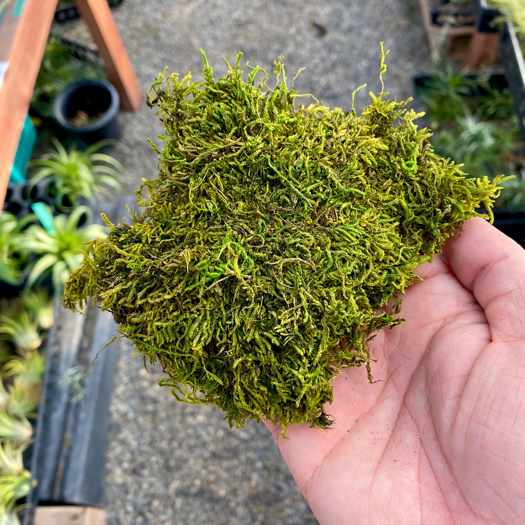 Preserved Forest Sheet Moss
