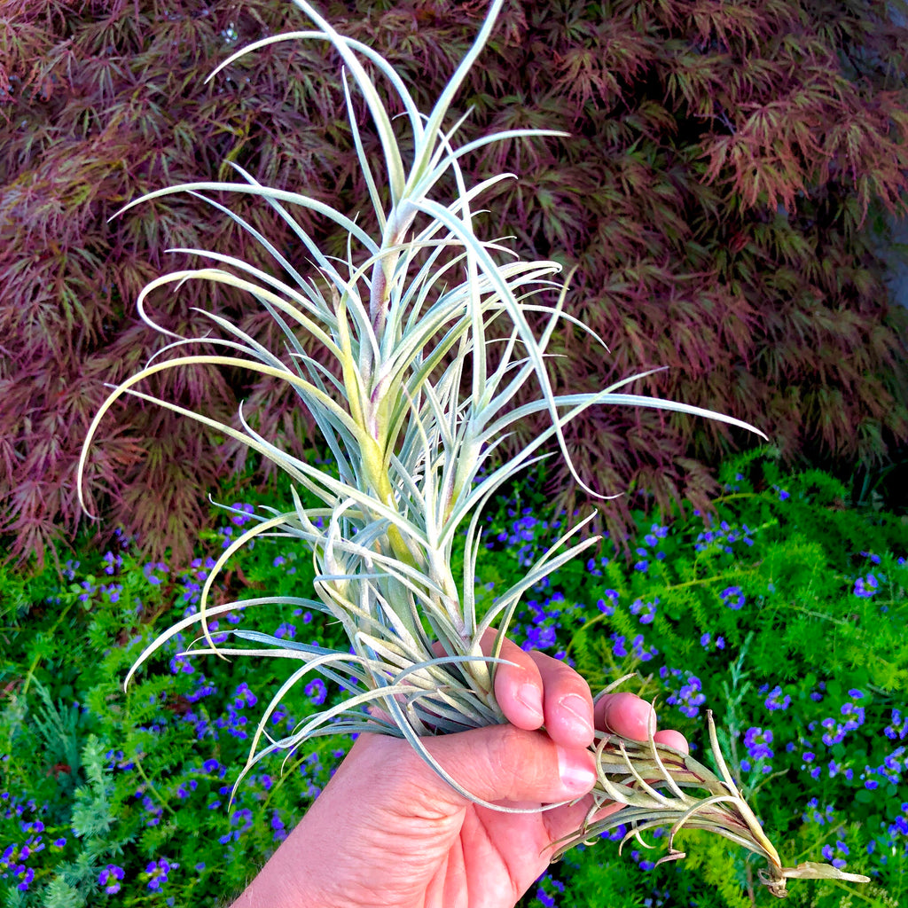 Crocata Giant <br> (Singles and Clumps) - Air Plant Hub