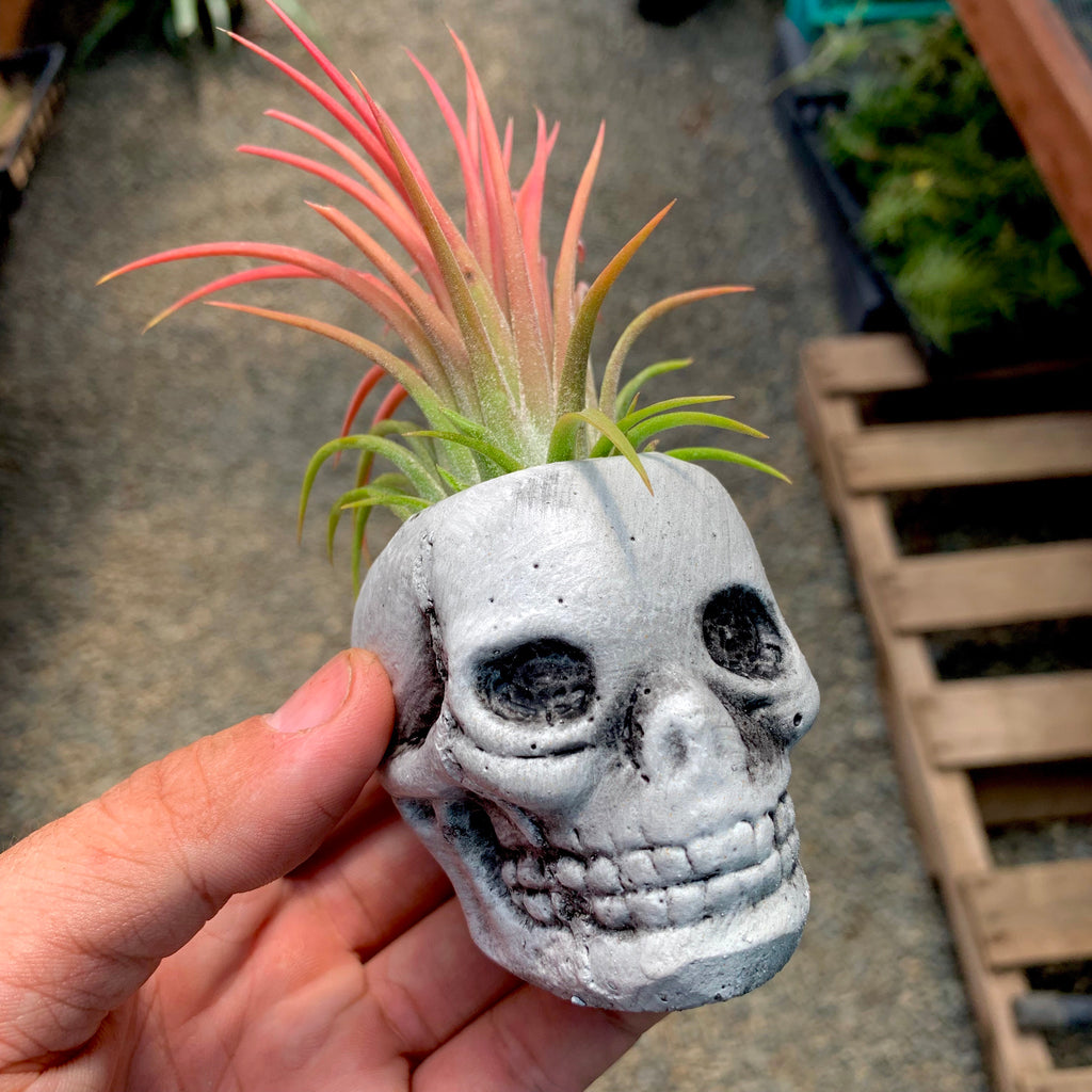 Concrete White/Grey Skull Air Plant Holder <br> (Includes Random Air Plant)
