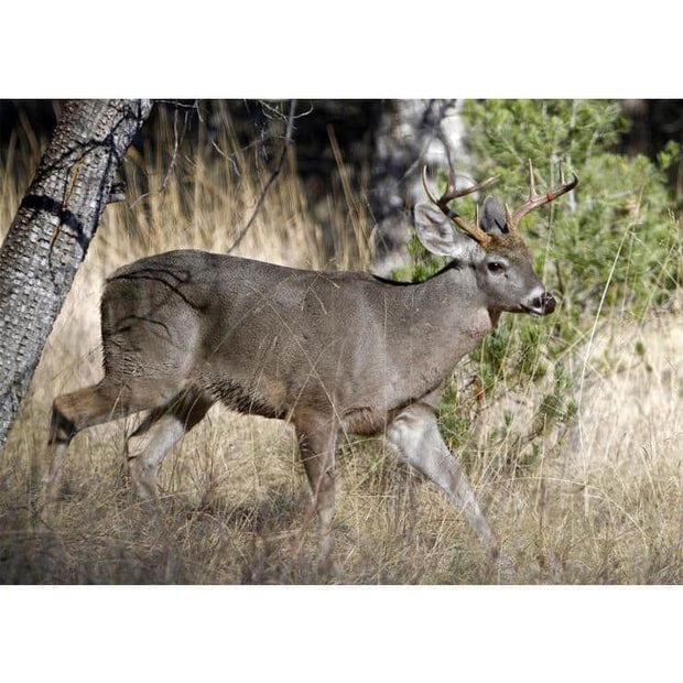 Coue's Whitetail Deer