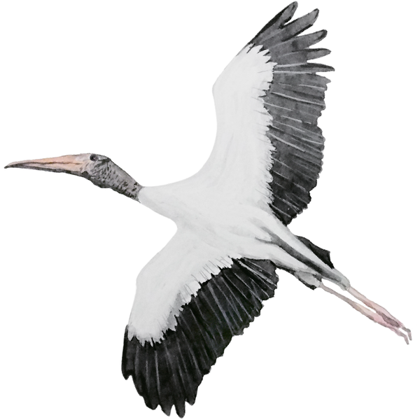 Wood Stork -hand-illustrated pic