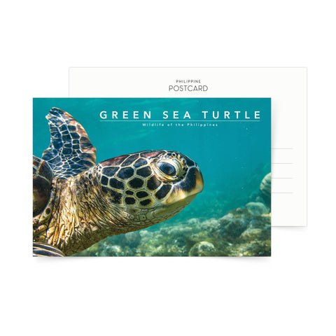 Green Sea Turtle Portrait Postcard Philippine