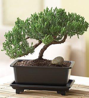 Juniper Bonsai - Large *Free Shipping* - 5and15