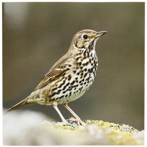 RSPB - Sound Card - Song Thrush