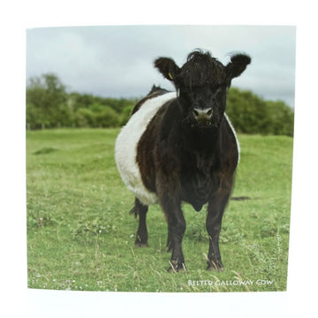 Sound Card - Belted Galloway Cow