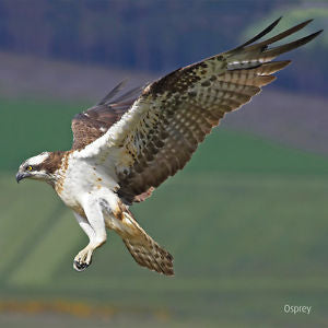 RSPB - Sound Card - Osprey