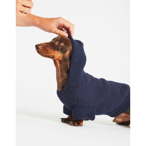 Daschund wearing blue coat