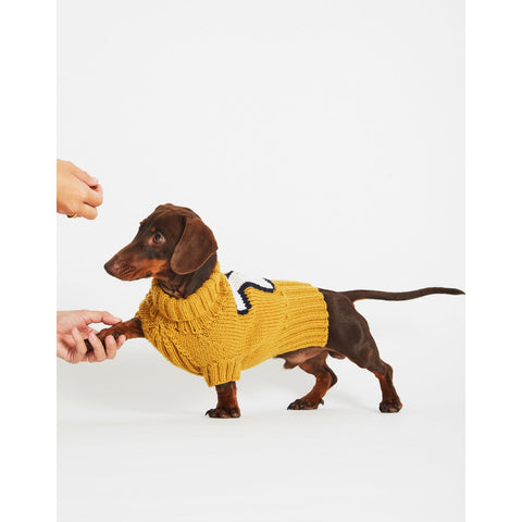 Daschund wearing yellow jumper